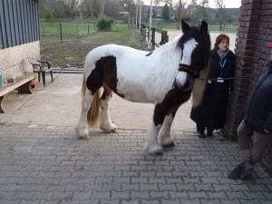 Pony mit einer Schulterhöhe von 149cm