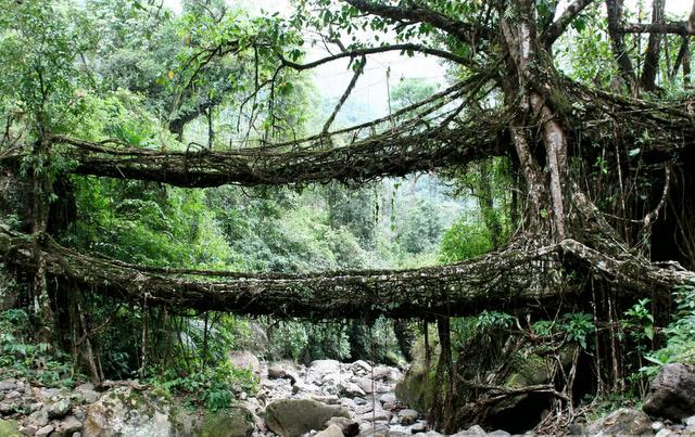 living_root_bridge
